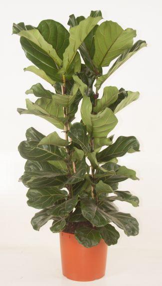 Ficus lyrata kamerplant 1