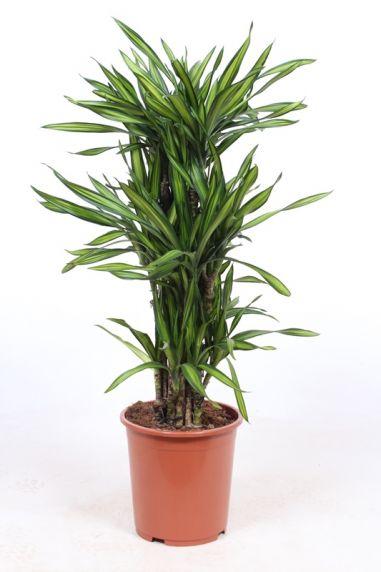 Dracaena riki kamerplant 2