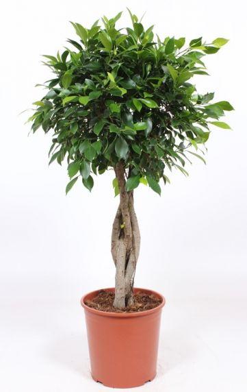 Ficus Nitida zimmerpflanze