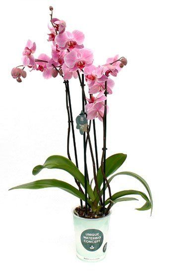 Phalaenopsis Boston - 4 Zweige