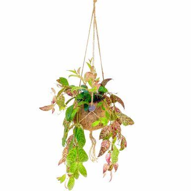 Kokodama Aeschynanthus hängepflanze