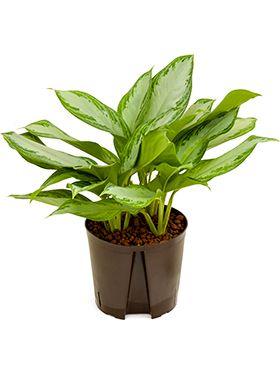 Aglaonema silver bay hydrokulturpflanze