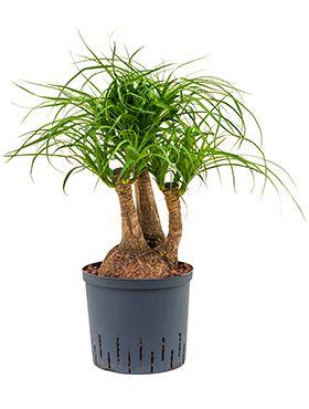 Beaucarnea recurvata hydrokulturpflanze
