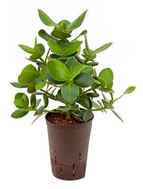 Clusia rosea princess hydrokulturpflanze