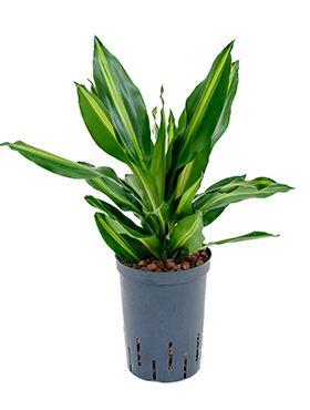 Dracaena cintho - Drachenbaum hydrokultur