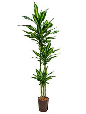 Dracaena cintho hydropflanze