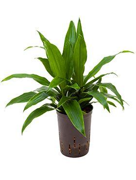 Dracaena janet craig hydrokulturpflanze