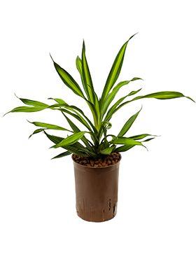Dracaena riki  hydrokulturpflanze