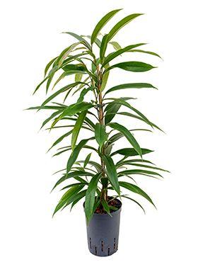 Ficus amstel king hydrokulturpflanze