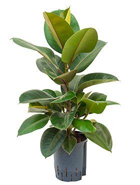 Ficus elastica robusta - Gummibaum hydrokulturpflanze