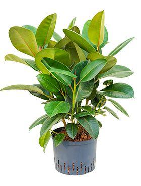 Ficus elastica robusta hydrokulturpflanze