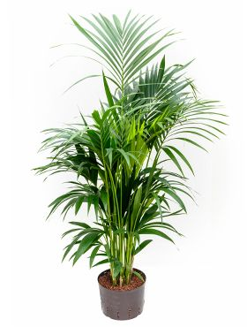 Kentia Palme hydrokultur