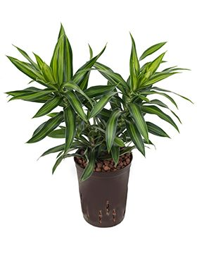Pleomele song of jamaica hydrokulturpflanze