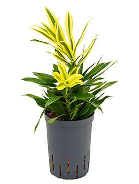 Pleomele song of sri lanka hydrokulturpflanze