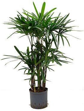 Rhapis excelsa - Steckenpalme hydrokulturpflanze