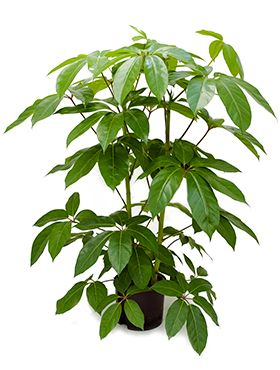 Schefflera amate hydrokulturpflanze
