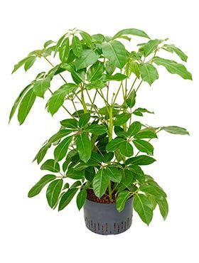 Schefflera amate hydropflanze