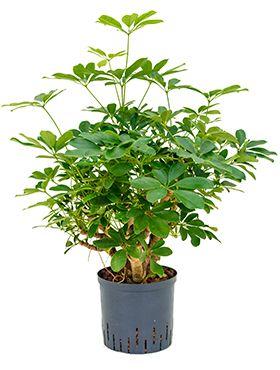 Schefflera arboricola hydrokulturpflanze