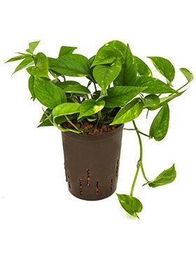Scindapsus (epipremnum) aureum hydrokulturpflanze