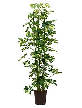Schefflera gold capella hydrokulturpflanze