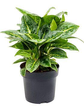 Aglaonema Lemon Mint zimmerpflanze