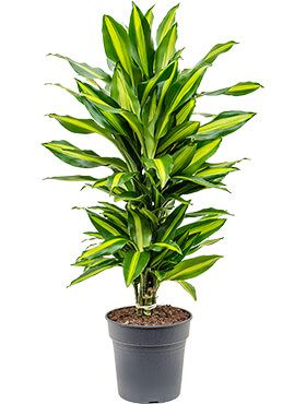 Dracaena cintho - Drachenbaum