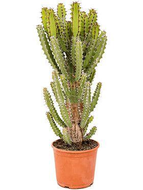 Euphorbia zoutpansbergensis kaktus