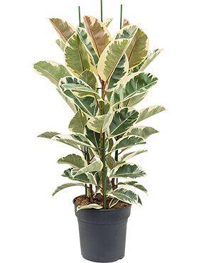 Ficus elastica tineke   Gummibaum