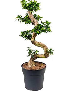 Ficus microcarpa compacta zimmerpflanze