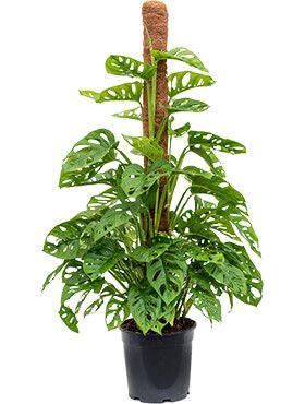 Monstera obliqua - Monkey Mask  pflanze