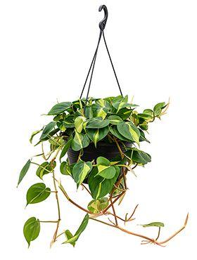 Philodendron grand brasil hängepflanze