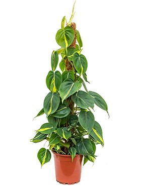 Philodendron grand brasil zimmerpflanze