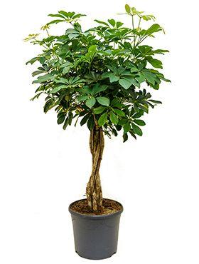 Schefflera arboricola - Strahlenaralie pflanze stamm