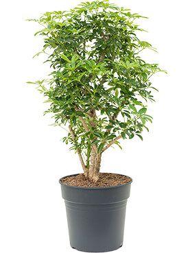 Schefflera louisiana - Strahlenaralie zimmerpflanze