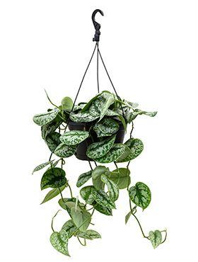 Scindapsus pictus trebie hängepflanze