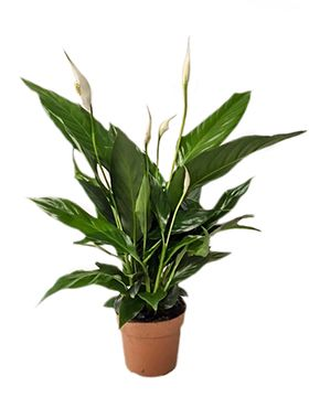 Spathiphyllum sweet rocco