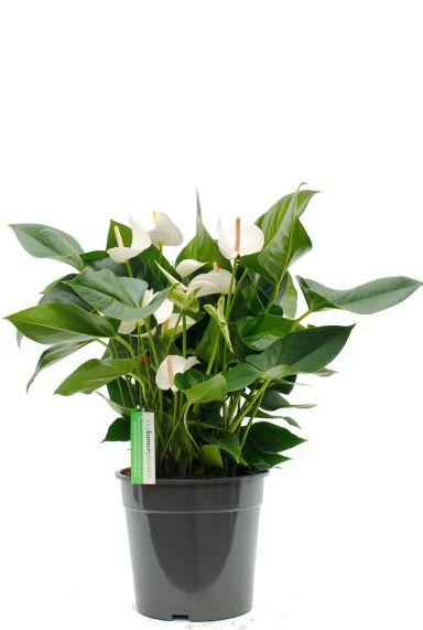 Anthurium weiße Blume