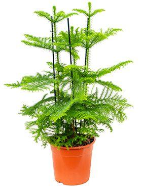 Araucaria heterophylla zimmerpflanze