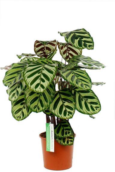 Calathea makoyana ovale bladeren