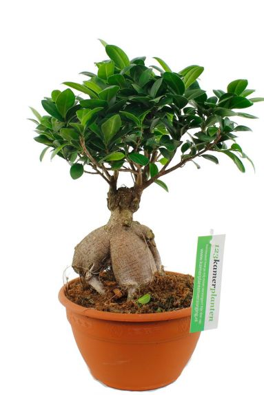 Ficus microcarpa ginseng  zimmerpflanze