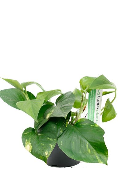 Scindapsus Aureum Zimmerpflanze