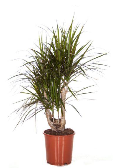 Dracaena Marginata pflanze