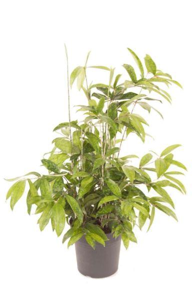 Dracaena Surculosa - Drachenbaum