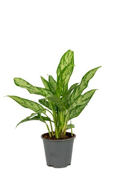 Aglaonema-silver-queen-kamerplant