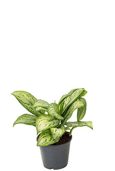 Aglaonema christina plant