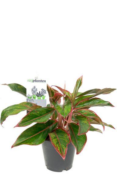 Aglaonema crete zimmerpflanze