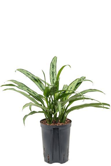 Aglaonema cutlass hydrocultuur kamerplant