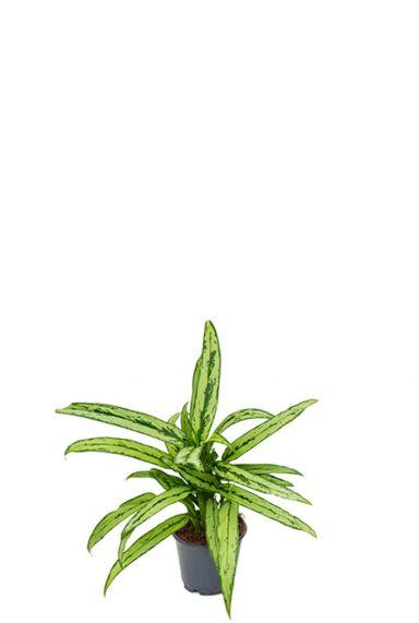 Aglaonema cutlass kolbenfaden zimmerpflanze