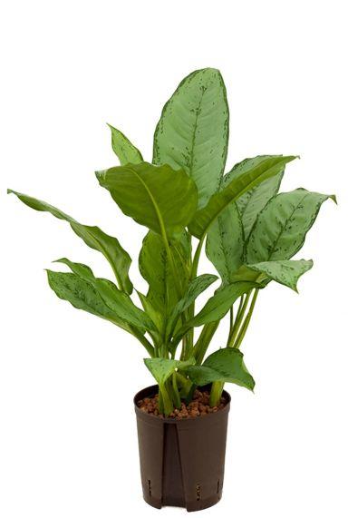 Aglaonema freedman hydro plant