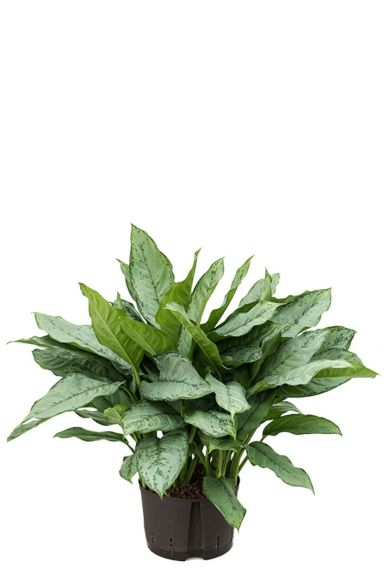 Aglaonema freedman hydrokulturpflanze